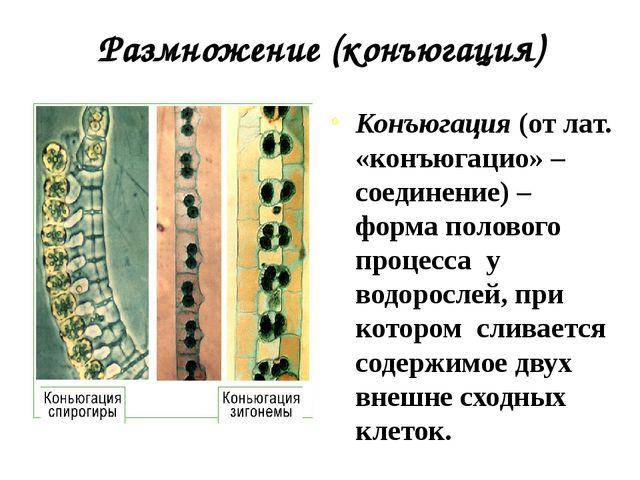 Размножение (конъюгация) Конъюгация (от лат. «конъюгацио» – соединение) – фор...