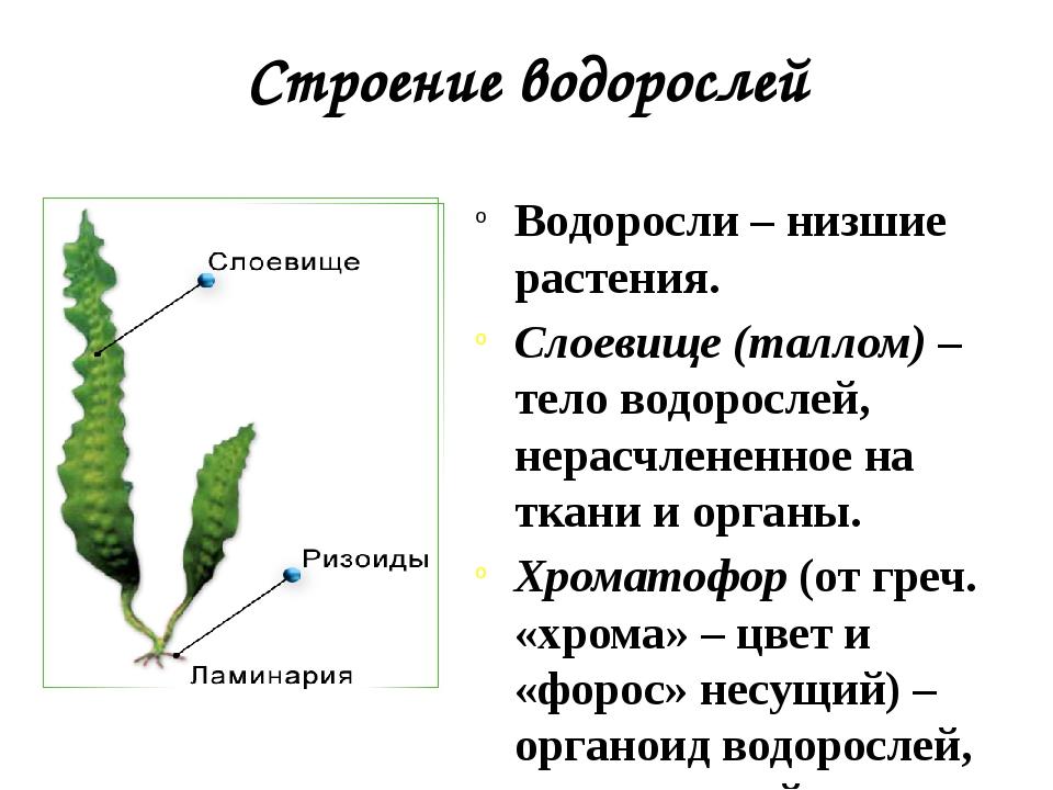 Строение водорослей Водоросли – низшие растения. Слоевище (таллом) – тело вод...