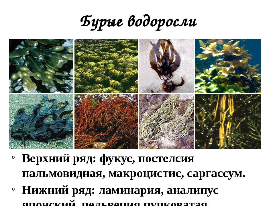 Бурые водоросли Верхний ряд: фукус, постелсия пальмовидная, макроцистис, сарг...