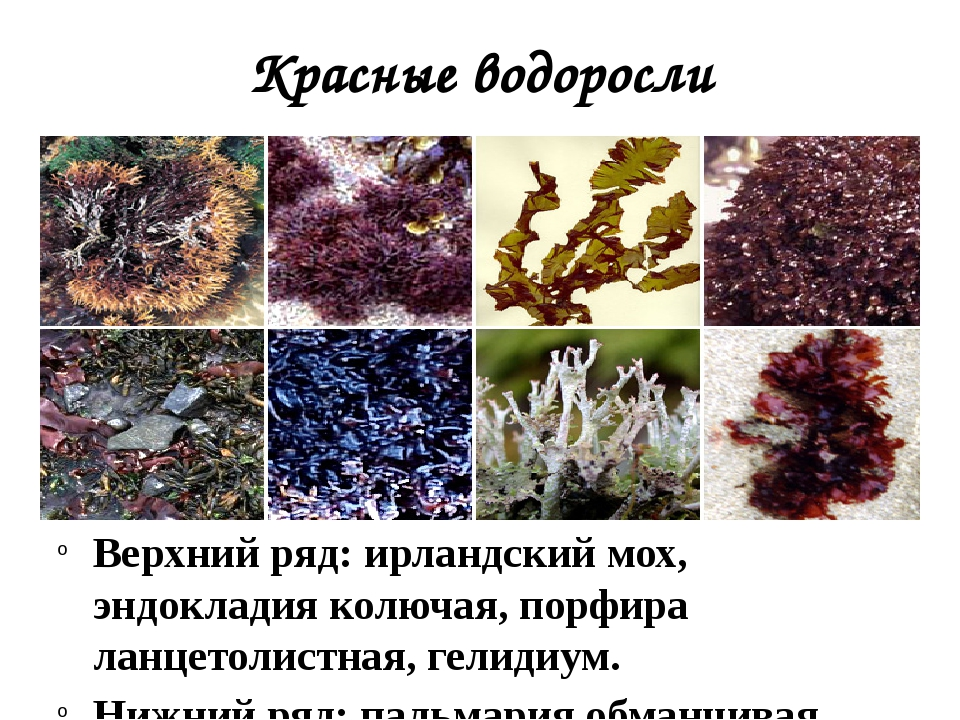 Красные водоросли Верхний ряд: ирландский мох, эндокладия колючая, порфира ла...