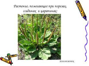 Растение, помогающее при порезах, ссадинах ицарапинах: ПОДОРОЖНИК
