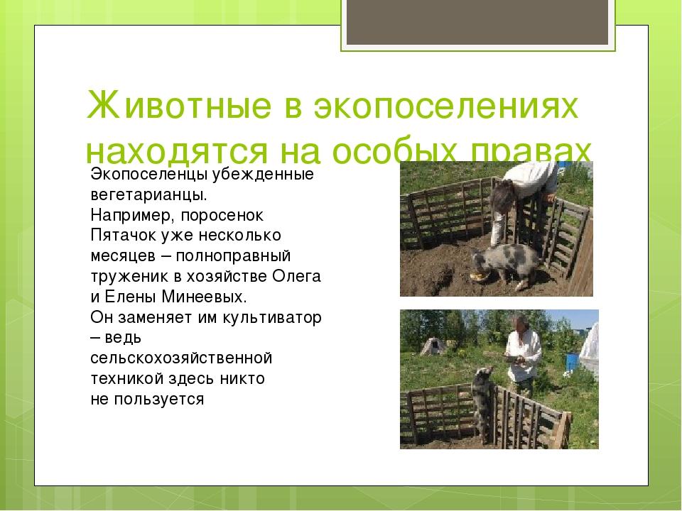 Животные в экопоселениях находятся на особых правах Экопоселенцы убежденные в...