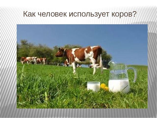 Как человек использует коров?
