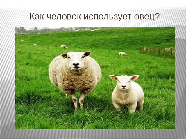 Как человек использует овец?