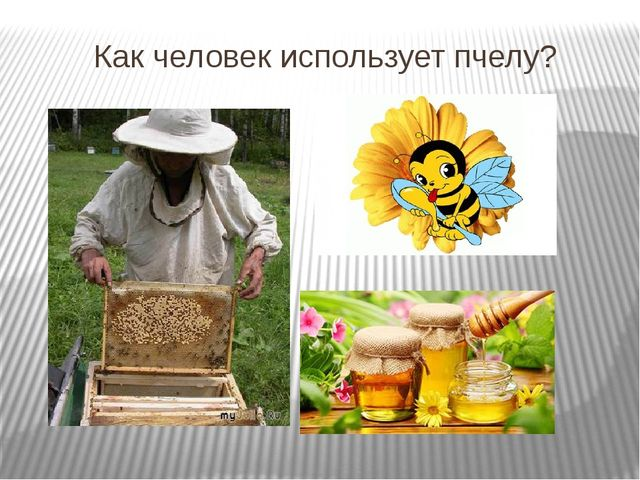 Как человек использует пчелу?