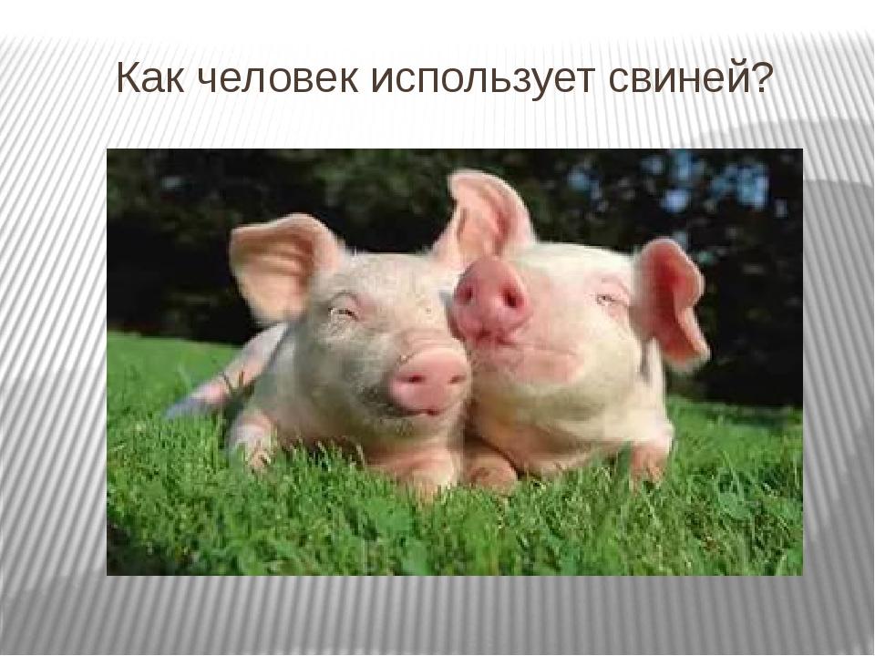 Как человек использует свиней?
