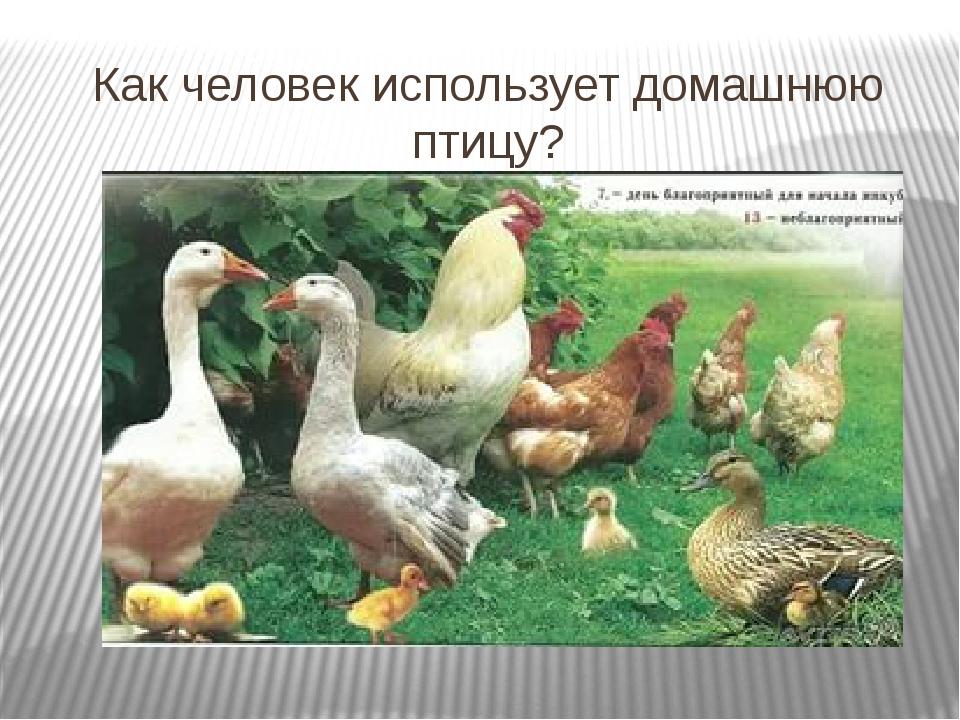 Как человек использует домашнюю птицу?