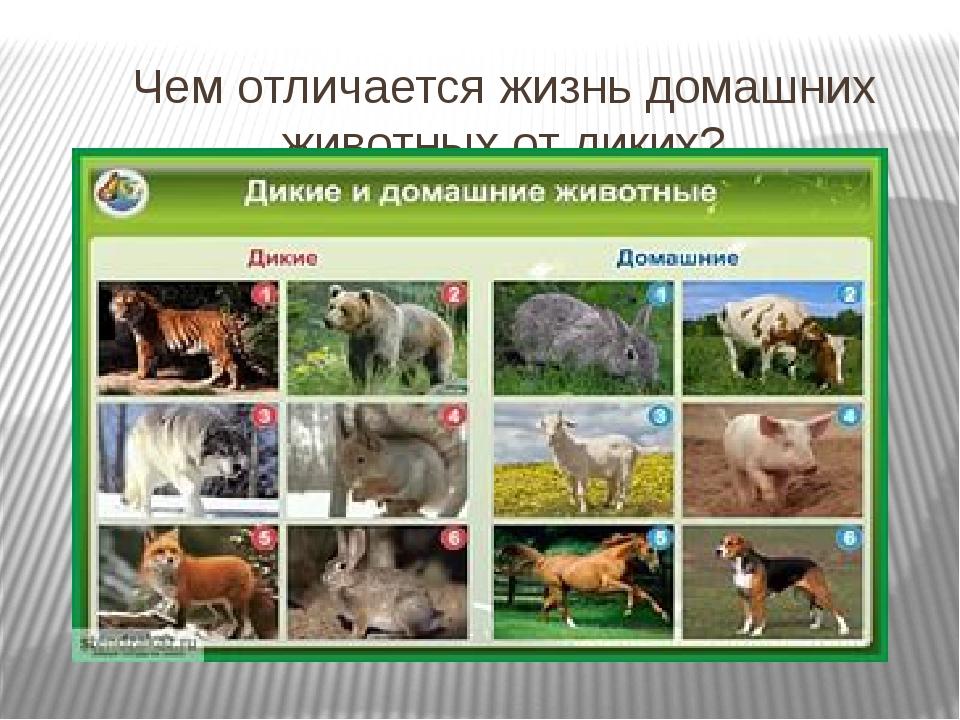 Чем отличается жизнь домашних животных от диких?