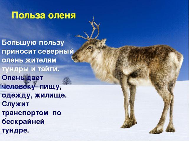 Польза оленя Большую пользу приносит северный олень жителям тундры и тайги. О...