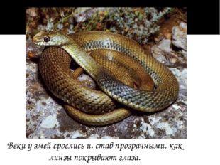 Веки у змей срослись и, став прозрачными, как линзы покрывают глаза.