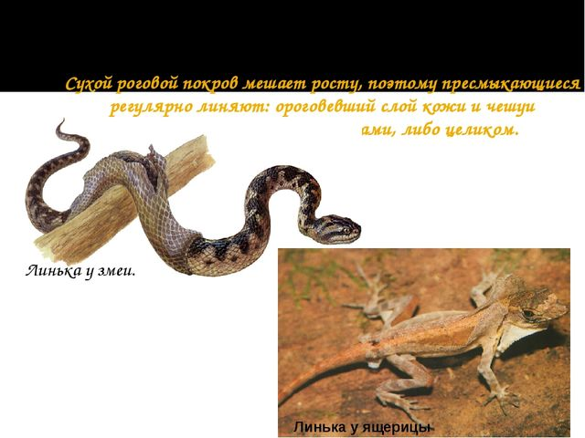 Сухой роговой покров мешает росту, поэтому пресмыкающиеся регулярно линяют:...