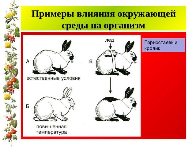Примеры влияния окружающей среды на организм Горностаевый кролик