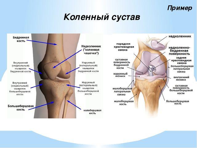 есть строение сустава человека фото с описанием фото момордики
