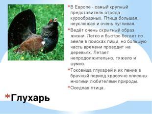 Глухарь В Европе - самый крупный представитель отряда курообразных. Птица бол