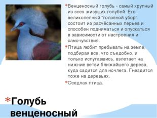 Голубь венценосный Венценосный голубь - самый крупный из всех живущих голубей
