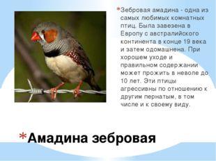 Амадина зебровая Зебровая амадина - одна из самых любимых комнатных птиц. Был