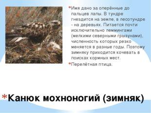Канюк мохноногий (зимняк) Имя дано за оперённые до пальцев лапы. В тундре гн