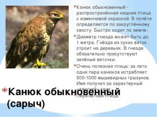 Канюк обыкновенный (сарыч) Канюк обыкновенный - распространённая хищная птиц