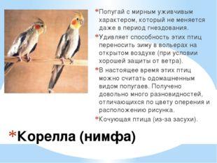 Корелла (нимфа) Попугай с мирным уживчивым характером, который не меняется да