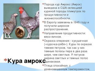 Кура амрокс Порода кур Амрокс (Амрок) выведена в США селекцией куриной породы