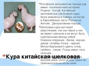 Кура китайская шелковая Китайская шелковистая порода кур имеет тысячелетнюю и