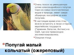 Попугай малый кольчатый (ожереловый) Очень похож на уменьшенную копию алекса