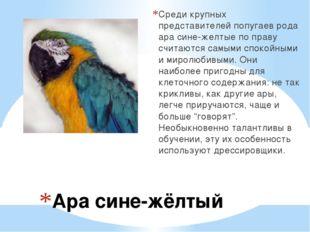Ара сине-жёлтый Среди крупных представителей попугаев рода ара сине-желтые п
