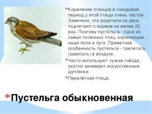 Пустельга обыкновенная Кормление птенцов в гнездовой период у этой птицы очен