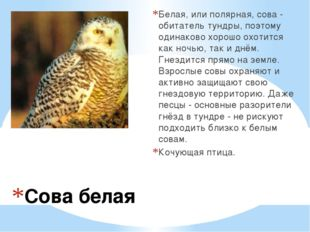 Сова белая Белая, или полярная, сова - обитатель тундры, поэтому одинаково хо