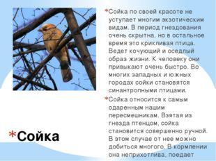 Сойка Сойка по своей красоте не уступает многим экзотическим видам. В период