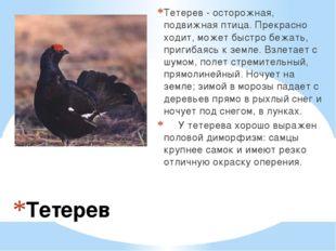 Тетерев Тетерев - осторожная, подвижная птица. Прекрасно ходит, может быстро