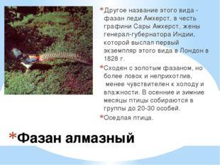 Фазан алмазный Другое название этого вида - фазан леди Амхерст, в честь графи