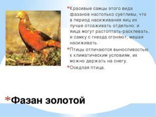 Фазан золотой Красивые самцы этого вида фазанов настолько суетливы, что в пер
