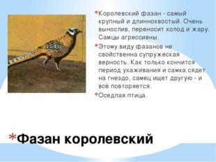 Фазан королевский Королевский фазан - самый крупный и длиннохвостый. Очень в