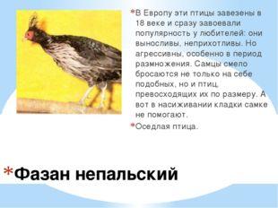 Фазан непальский В Европу эти птицы завезены в 18 веке и сразу завоевали попу