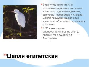 Цапля египетская Этих птиц часто можно встретить сидящими на спинах животных