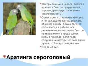 Аратинга сероголовый Вскормленные в неволе, попугаи аратинга быстро приручаю