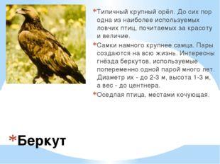 Беркут Типичный крупный орёл. До сих пор одна из наиболее используемых ловчих