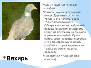 Вяхирь Самый крупный из наших голубей. Вяхирь - очень осторожная птица. Держ