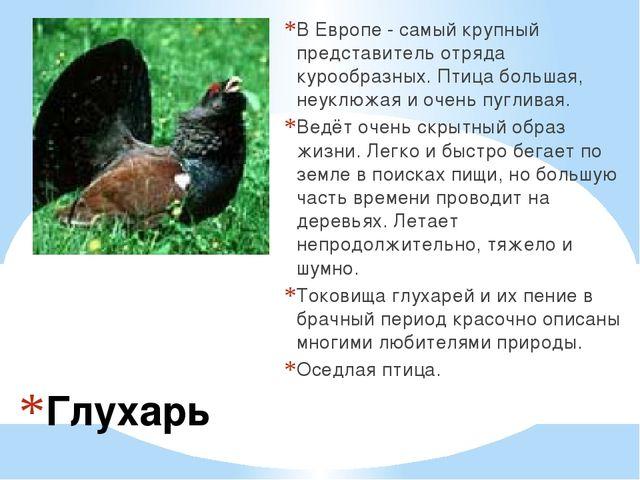 Глухарь В Европе - самый крупный представитель отряда курообразных. Птица бол...