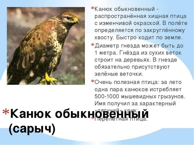 Канюк обыкновенный (сарыч) Канюк обыкновенный - распространённая хищная птиц...