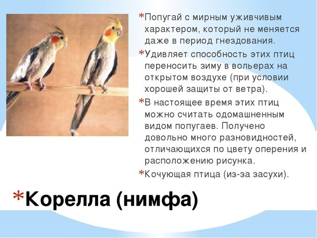 Корелла (нимфа) Попугай с мирным уживчивым характером, который не меняется да...