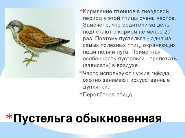 Пустельга обыкновенная Кормление птенцов в гнездовой период у этой птицы очен...
