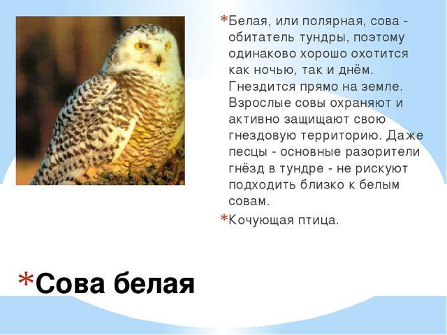 Сова белая Белая, или полярная, сова - обитатель тундры, поэтому одинаково хо...