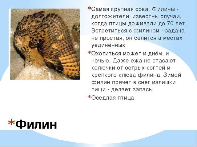 Филин Самая крупная сова. Филины - долгожители, известны случаи, когда птицы...