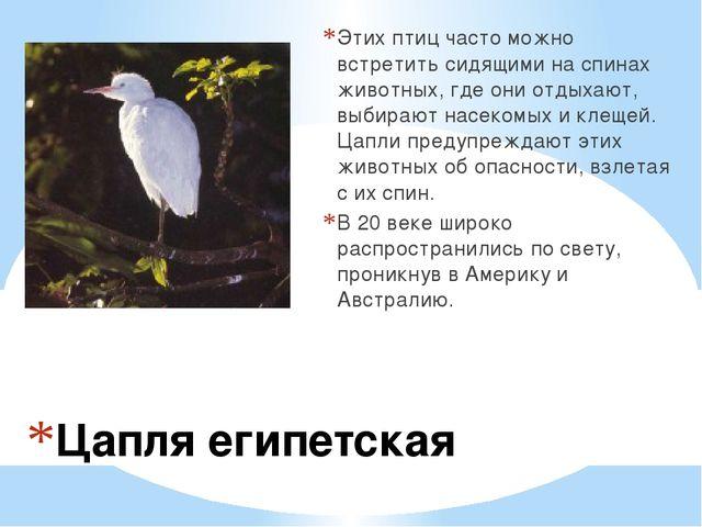 Цапля египетская Этих птиц часто можно встретить сидящими на спинах животных...