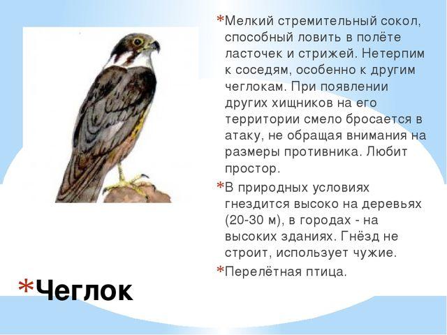 Чеглок Мелкий стремительный сокол, способный ловить в полёте ласточек и стриж...