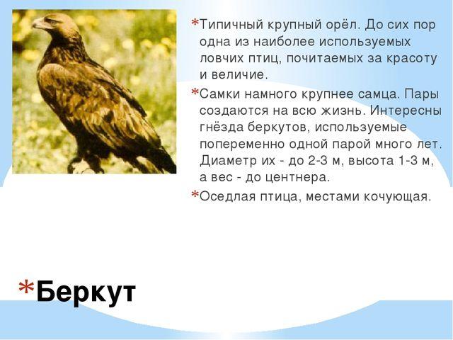 Беркут Типичный крупный орёл. До сих пор одна из наиболее используемых ловчих...