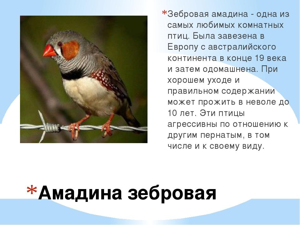 Амадина зебровая Зебровая амадина - одна из самых любимых комнатных птиц. Был...