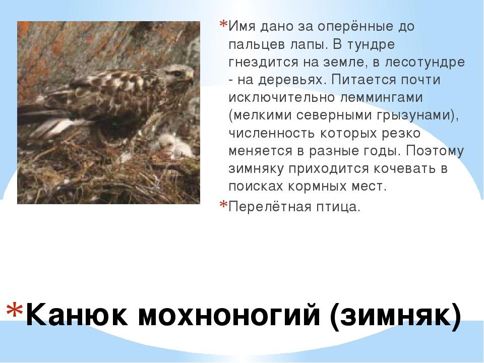 Канюк мохноногий (зимняк) Имя дано за оперённые до пальцев лапы. В тундре гн...